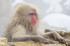 Wild Snow Monkey in Deep Thought Stock Photography