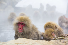 Wild Snow Monkey Facial Expressions: Distraction. Sitting in steamy water,soaking wet except for her fuzzy head, with a sleeping baby at her side, and another royalty free stock photography