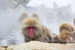 Wild Snow Monkey Facial Expressions: Gaze. Sitting in steamy water,soaking wet except for her fuzzy head, with a sleeping baby at her side, and another monkey stock photos