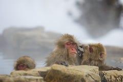 Wild Snow Monkey: Gloomy Grooming Royalty Free Stock Image