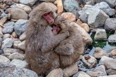 Wild Snow Monkey Hug 4 royalty free stock photo