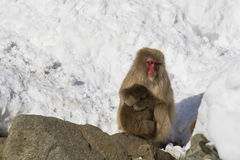 Wild Snow Monkey Nodding off in Snow with Baby royalty free stock photos