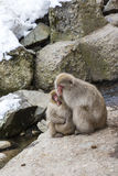 Wild Snow Monkeys Huddling for Warmth. On a cold winter day, a wild red-faced furry snow monkey mom and her two babies huddle and hold each other close to Stock Photos