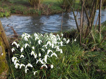 Wild Snowdrop flowers Royalty Free Stock Photo