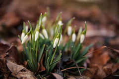 Wild snowdrops. In the park, wild flowers, spring flowers Stock Photography