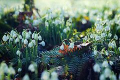 Snowdrops in Morning Dew at Early Spring royalty free stock photo