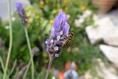 wild solitary bee looking for pollen and nectar on Spanish lavender flower royalty free stock image
