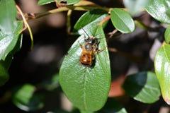 Wild solitary bee Osmia bicornis Stock Image