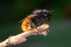 Wild solitary bee Osmia cornuta Royalty Free Stock Images
