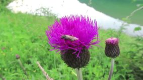 Wild solitary bee on a pink thistle flower in austria.  stock footage