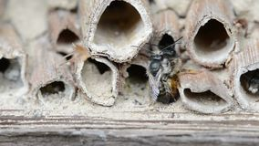 Wild solitary bees osmia bicornis mating on insect hotel at springtime stock footage
