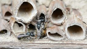 Wild solitary bees osmia bicornis mating on insect hotel at springtime stock video