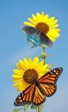 Wild solros med fjärilar arkivfoto