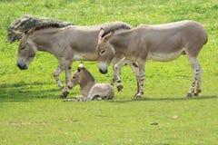 Wild somali asses Stock Images