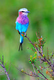 Wild song Bird Stock Image