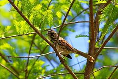 Wild Song Sparrow. One wild Song Sparrow is trying to find its food, bird Royalty Free Stock Photos