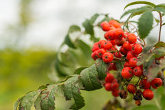 Wild sorbus shrub. Closeup of wild sorbus shrub in the autumn in Holland Royalty Free Stock Photography