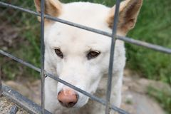 Wild soul in cage. A wild dingo inside a cage Royalty Free Stock Photography
