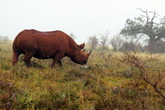 Wild south african black rhino Royalty Free Stock Photo
