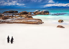 Wild South African penguins stock image