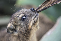 Wild South African Rock Dassie Royalty Free Stock Photography