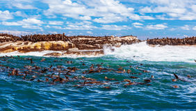 Wild South African seals Royalty Free Stock Photography