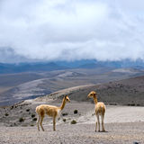 Wild South American camel, Andes of central Ecuador Royalty Free Stock Photography