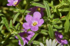 Wild Southwest Native Calibrachoa parviflora growing wild in Texas. Calibrachoa parviflora, Mini petunia, early flowering compact cultivar with trailing habit stock photo