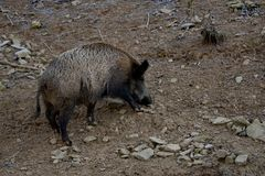 Wild sow royalty free stock photography