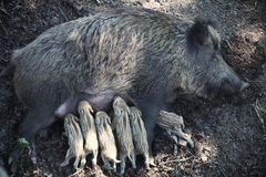 Wild sow feeds piglets Stock Photo