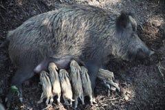 Wild sow feeds piglets. Wild sow feeds the wild stripy baby piglets Stock Photo