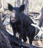 Wild sow / hog in mangrove swamp. Female wild hog hiding amongst the mangrove swamps of Louisiana Royalty Free Stock Image