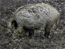 Wild sow 1. Wild sow. Latin name - Sus scrofa Stock Photo
