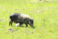 Wild sow with piglet. Grey wild sow with drinking piglet Stock Image