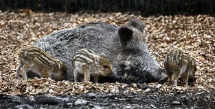 Wild sow and piglets 1 Stock Photo