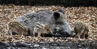 Wild sow and piglets 1. Wild sow and piglets. Latin name - Sus scrofa Stock Photo