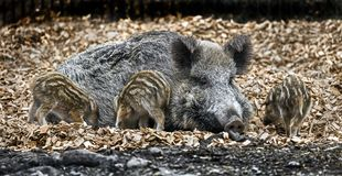 Wild sow and piglets 2 Stock Photography