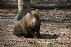 Wild sow Royalty Free Stock Image