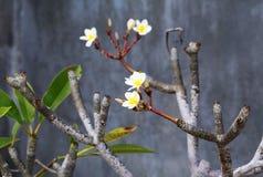 Wild spa flower plumeria Stock Photos