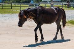 Wild Spaans Mustang die Vrij Dichtbijgelegen Openbaar Park in Corolla zwerven royalty-vrije stock foto's