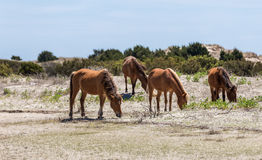 Wild Spanish Decendent Mustangs. North Carolina wild horses descendent from 16th century Spanish explorers to North America stock images
