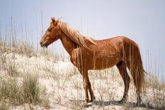 Wild Spanish Mustang, Animal, Horse Royalty Free Stock Photo