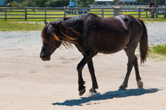 Wild Spanish Mustang Roaming Free Near Public Park in Corolla Royalty Free Stock Photos