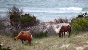 Wild Spanish mustangs of Shackleford Banks. Wild Spanish horses of Shackleford Banks North Carolina stock photography