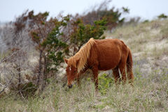 Wild Spanish mustangs of Shackleford Banks stock photography