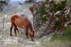 Wild Spanish mustangs of Shackleford Banks. North Carolina stock images