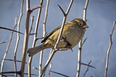 Sparrow on a branch. Wild sparrow on a branch Royalty Free Stock Photos