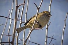 Sparrow on a branch Royalty Free Stock Photos