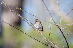 Wild Sparrow in a tree during Spring with budding branches. Wid Sparrow perched in a tree in Spring with budding branches royalty free stock photo