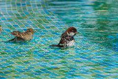 Wild sparrows bathing in shallow swimming pool water stock photo